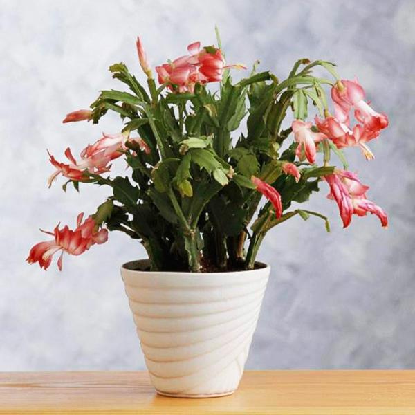Schlumbergera zimmerpflanzen blühend weihnachtskakteen