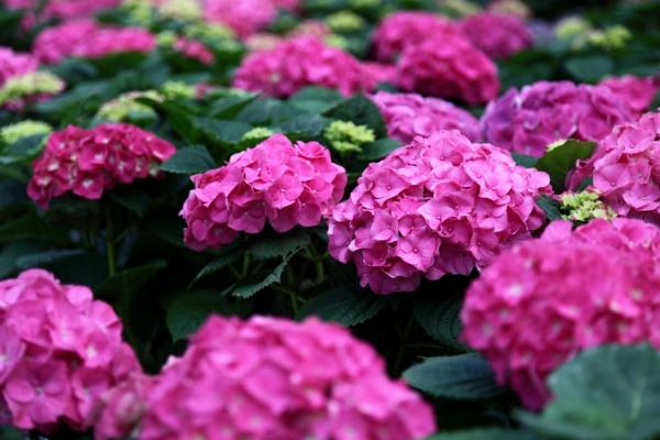 balkon pflanzen hortensien