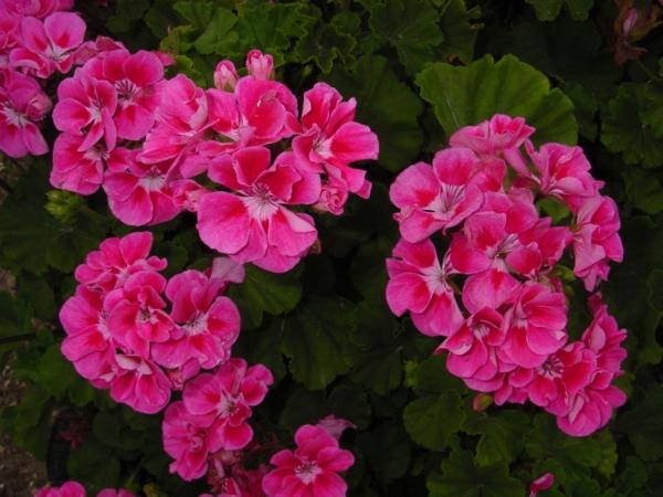 balkon pflanzen balkonpflanzen rosa geranien