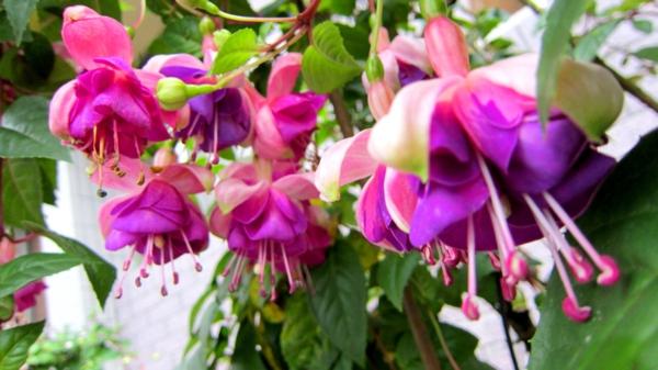 balkon bepflanzen fuchsien