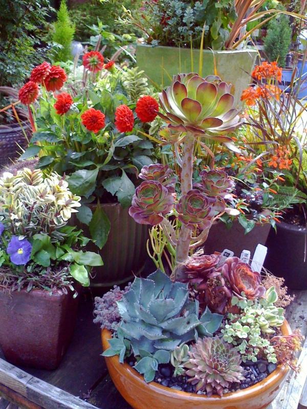 balkon pflanzen sukkulenten dahlien