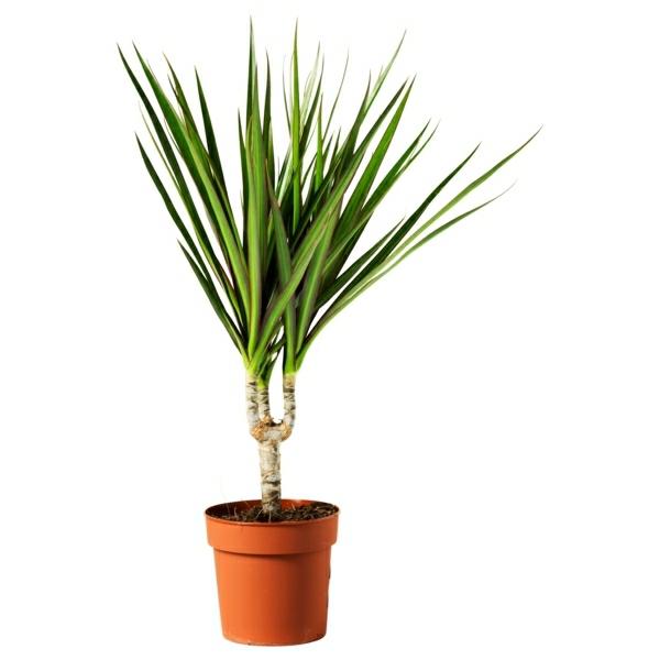 beliebteste topfpflanzen pflegenleicht drachenbaum