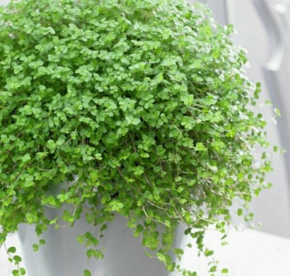 beliebteste-zimmerpflanzen-soleirolia-soleirolii-bubikopf
