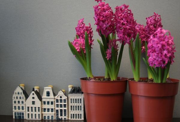 blühende zimmerpflanzen Hyazinthe topfpflanzen