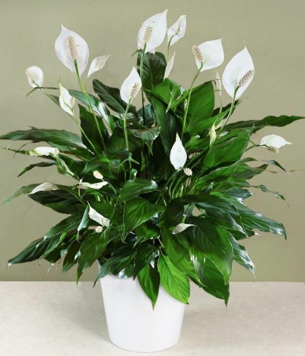 blühende zimmerpflanzen einblatt topfpflanze