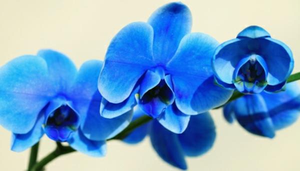 blühende zimmerpflanzen topfpflanze orchidee blau