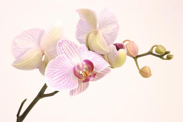 blühende zimmerpflanzen topfpflanze orchidee