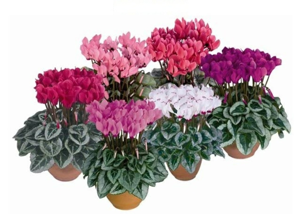 blühende zimmerpflanzen topfpflanze zyklamen alpenveilchen
