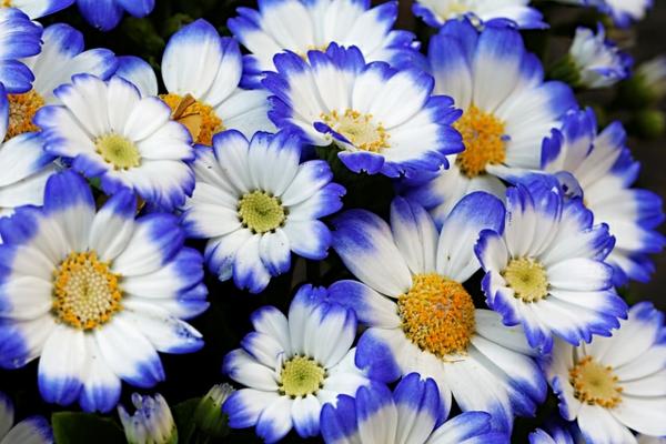 blühende zimmerpflanzen topfpflanzen Gänseblümchen