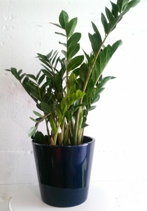 glücksfeder zimmerpflanzen wenig licht zamioculcas zamiifolia