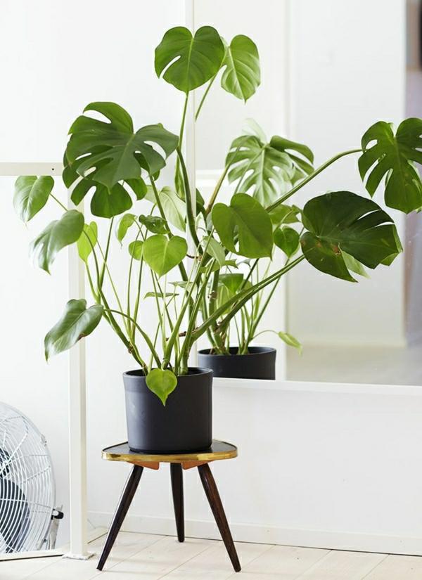 köstliches fensterblatt zimerpflanzen pflegeleicht topfpflanzen