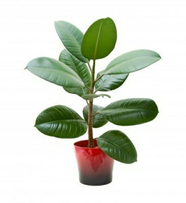 robuste zimmerpflanzen gummibaum zimmergrünpflanzen