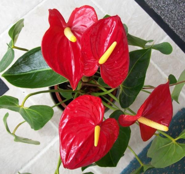 topfpflanzen zimmerpflanzen blühend Anthurium