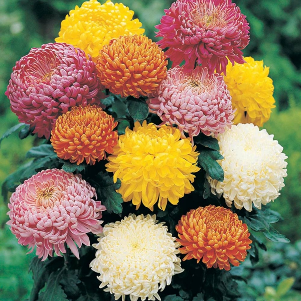 topfpflanzen zimmerpflanzen blühend Chrysanthemen farbige deko ideen