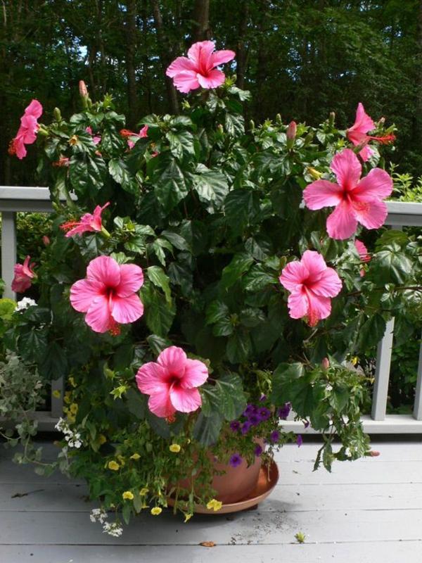 topfpflanzen zimmerpflanzen blühend Hibiskus balkonpflanzen