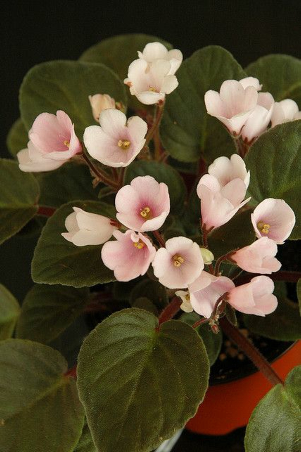 topfpflanzen zimmerpflanzen blühend Saintpaulia