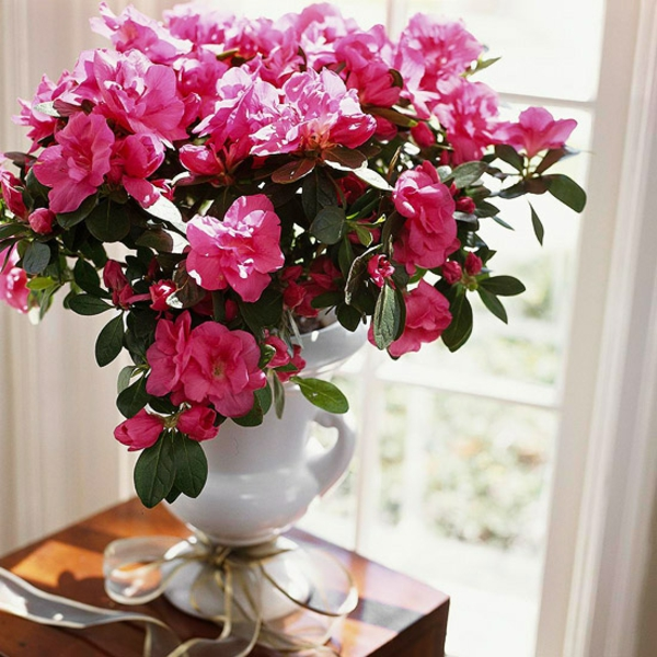 topfpflanzen zimmerpflanzen blühend azalee