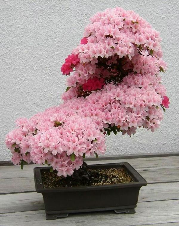 topfpflanzen zimmerpflanzen blühend rosa blüten