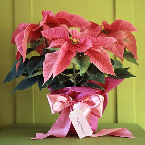 topfpflanzen zimmerpflanzen blühend weihnachtsstern