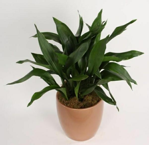 Zimmerpflanzen Die Viel Sonne Vertragen welche vertragen direkte sonne crassula stunning leider