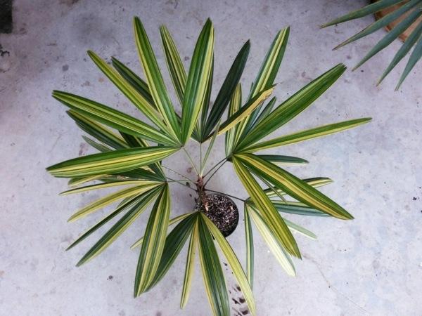 zimmerpalmen palmenarten zimmergrünpflanzen rhapis excelsa ladypalm