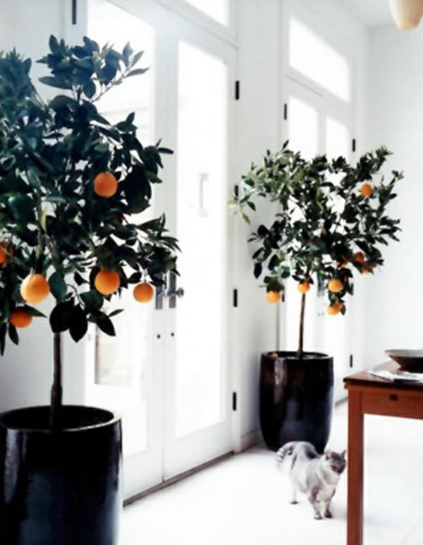 zimmerpflanzen-arten-topfpflanzen-citrusbaum-climentinen-kübelpflanzen