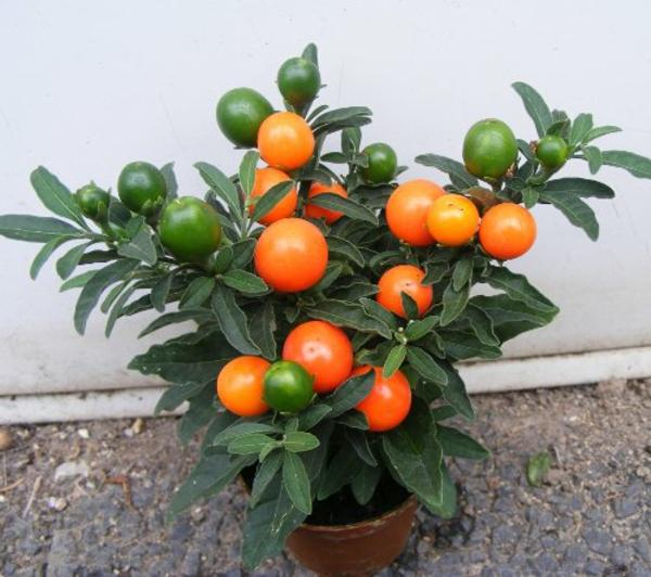 zimmerpflanzen arten topfpflanzen citrusbaum climentinen