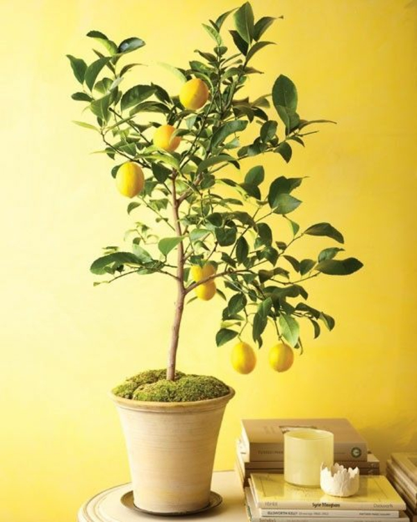 zimmerpflanzen arten topfpflanzen citrusbaum zitronenbaum