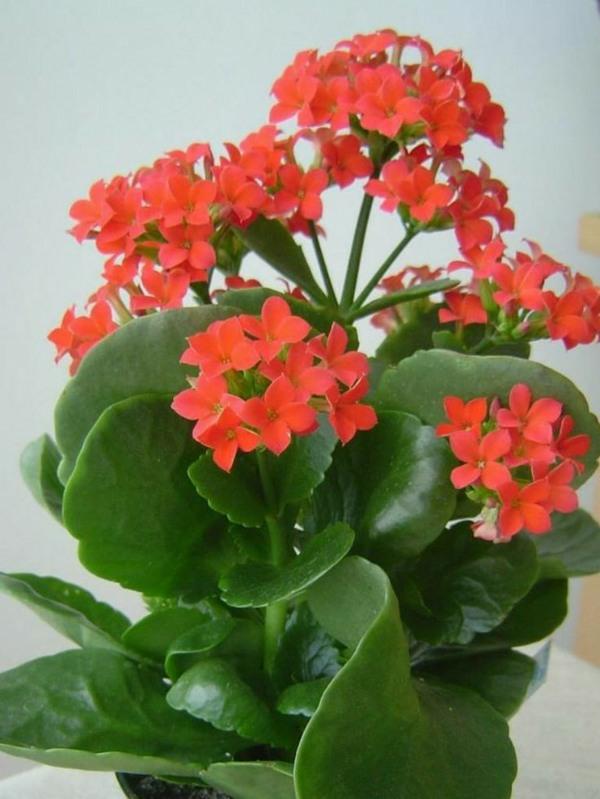 zimmerpflanzen beliebte topfpflanzen Kalanchoe blossfeldiana flammendes kätchen