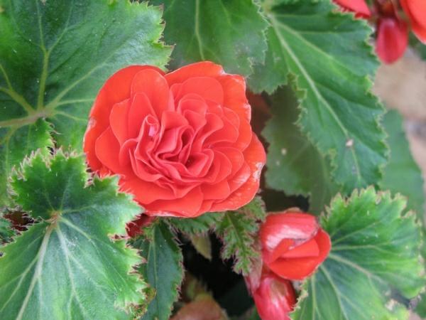 zimmerpflanzen beliebte topfpflanzen begonie rot