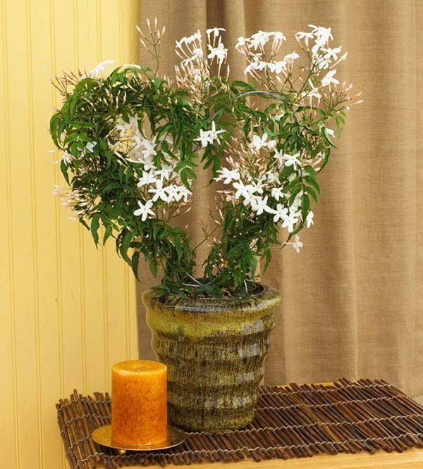 zimmerpflanzen blühend jasminum jasmin topfpflanzen