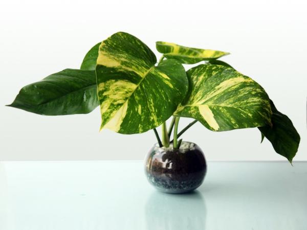 Große Zimmerpflanzen Wenig Licht große zimmerpflanzen die wenig licht brauchen jevelry com