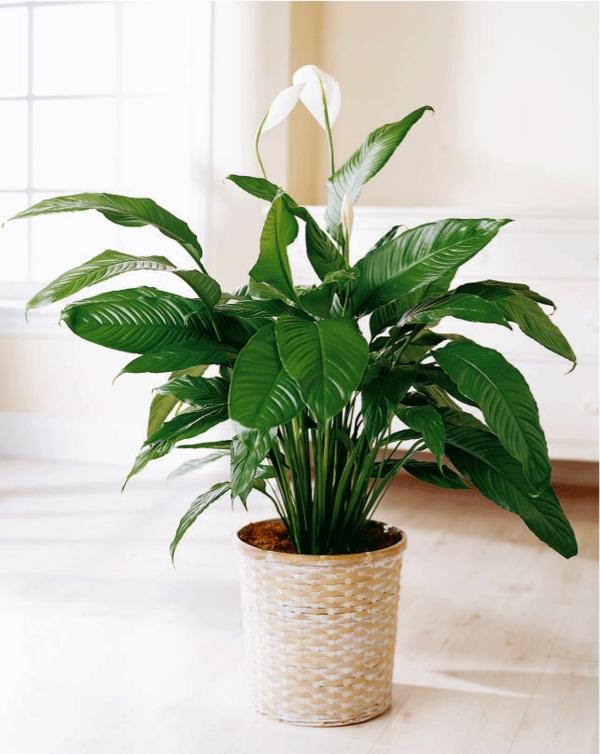 wohnzimmer palme pflege:wohnzimmer pflanzen wenig licht : Licht Für Die Zimmerpflanzen Die