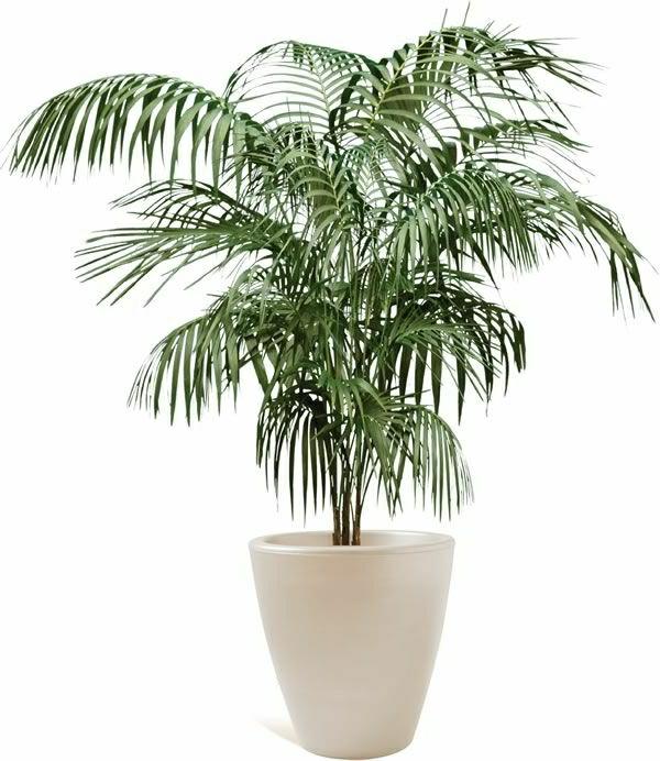 zimmerpflanzen pflegeleicht topfpflanzen bambuspalme