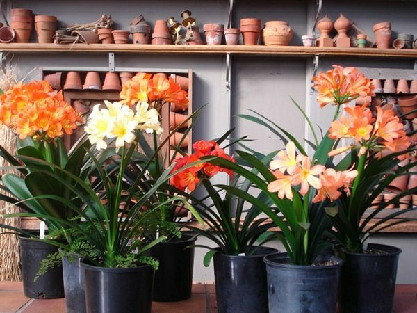zimmerpflanzen pflegeleicht topfpflanzen blühende pflanzen
