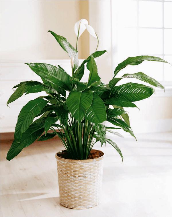 zimmerpflanzen pflegeleicht topfpflanzen friedenslilie einblatt
