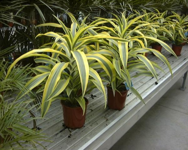 zimmerpflanzen pflegeleicht topfpflanzen grünlilie