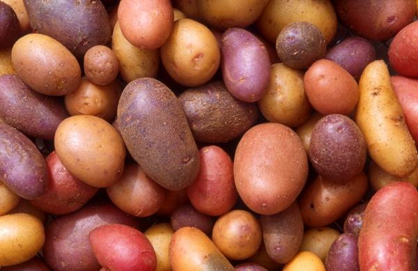 Kartoffeln pflanzen kartoffelanbau rot süß