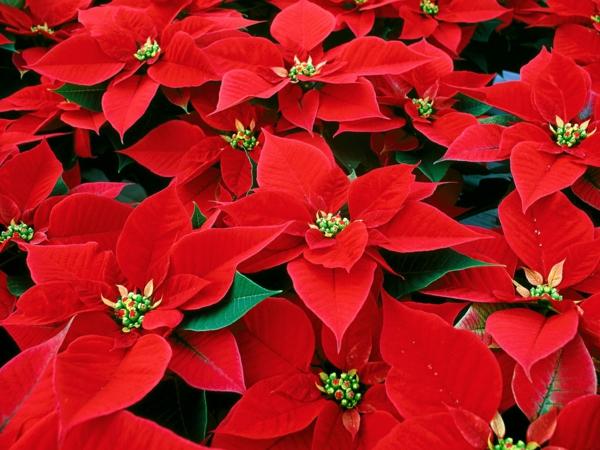 weihnachtsstern pflegen pflanzen richtig berwintern. Black Bedroom Furniture Sets. Home Design Ideas