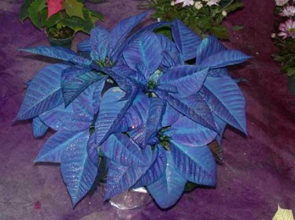 Weihnachtsstern pflegen bilder blume lila