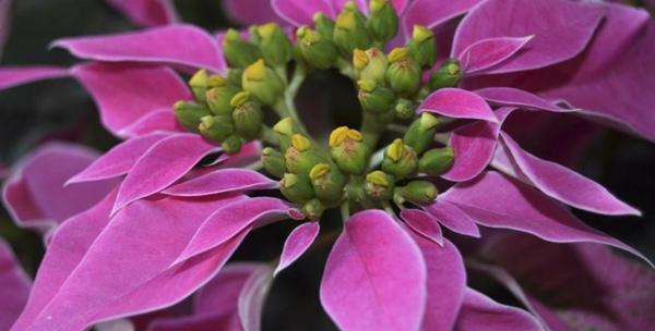 pflegen bilder blume Weihnachtsstern rosa lila