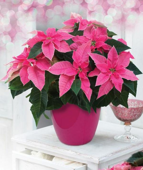 pflegen weihnachtsstern bilder blume rosa