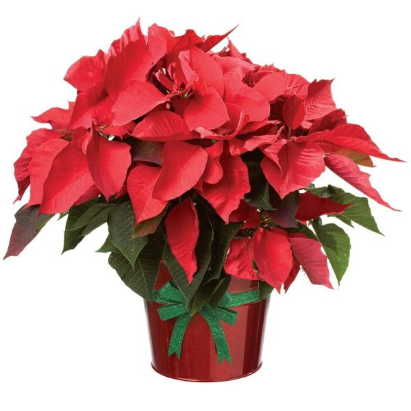 Weihnachtsstern pflegen bilder blume rot