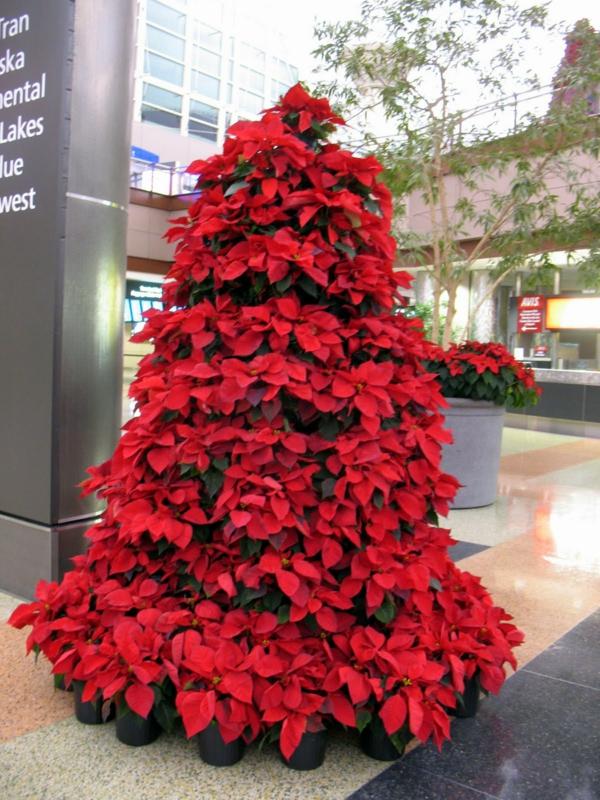 Weihnachtsstern Für Tannenbaum.Weihnachtsstern Pflegen Pflanzen Richtig überwintern