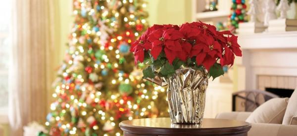 pflegen bilder blume winter Weihnachtsstern  feier