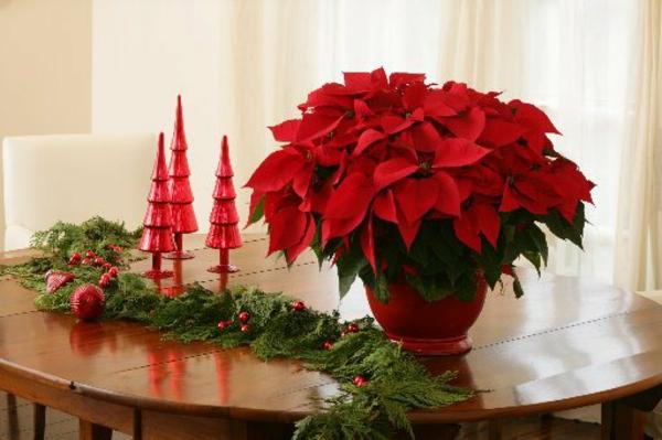 Weihnachtsstern pflegen bilder blume winter festlich