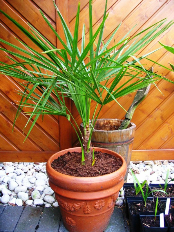 Die hanfpalme im garten oder als zimmerpflanze beides ist m glich - Zimmerpalme arten ...