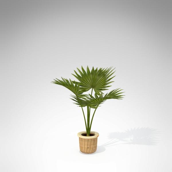 die hanfpalme im garten oder als zimmerpflanze beides ist m glich. Black Bedroom Furniture Sets. Home Design Ideas
