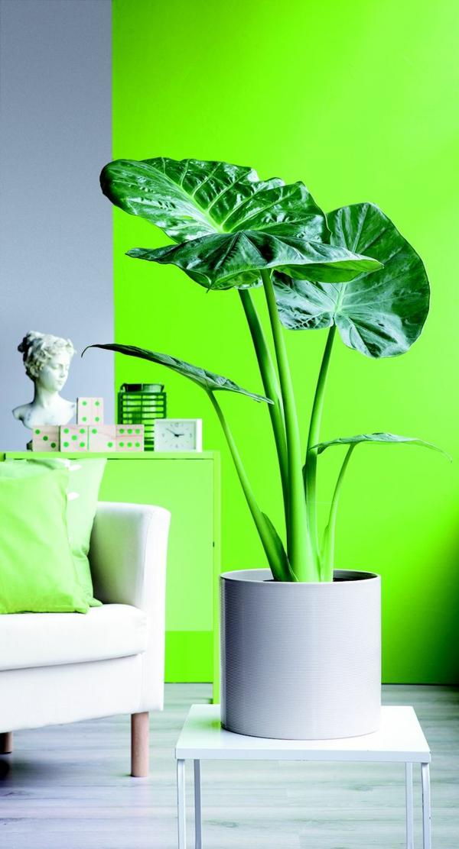 elefantenohr pflanze als topfpflanze blattwerk wandfarbe grün leuchtend