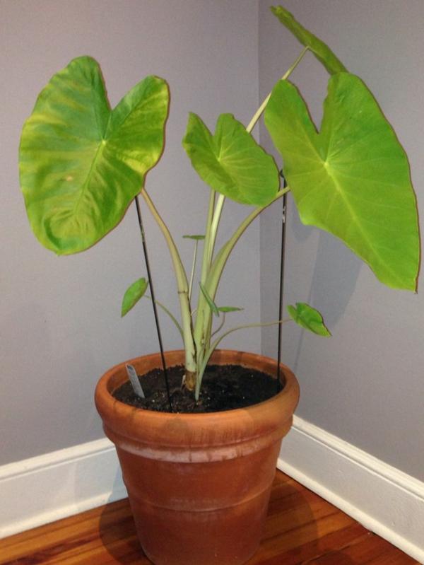elefantenohr pflanze als topfpflanze jungpflanze